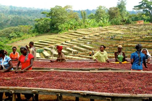 Плантации кофе к югу от Аддис-Абебы. Эфиопия
